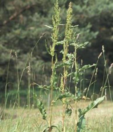 kruset skæppre- nem kilde til gul og en ukrudtsplante